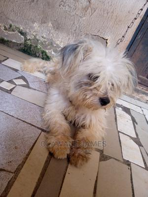 1+ Year Male Purebred Lhasa Apso   Dogs & Puppies for sale in Lagos State, Alimosho