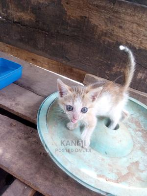 1-3 month Female Purebred American Shorthair   Cats & Kittens for sale in Lagos State, Ikorodu