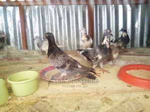 Young Pigeons of 3 Months Both Sex Available | Birds for sale in Kaduna State, Kaduna / Kaduna State