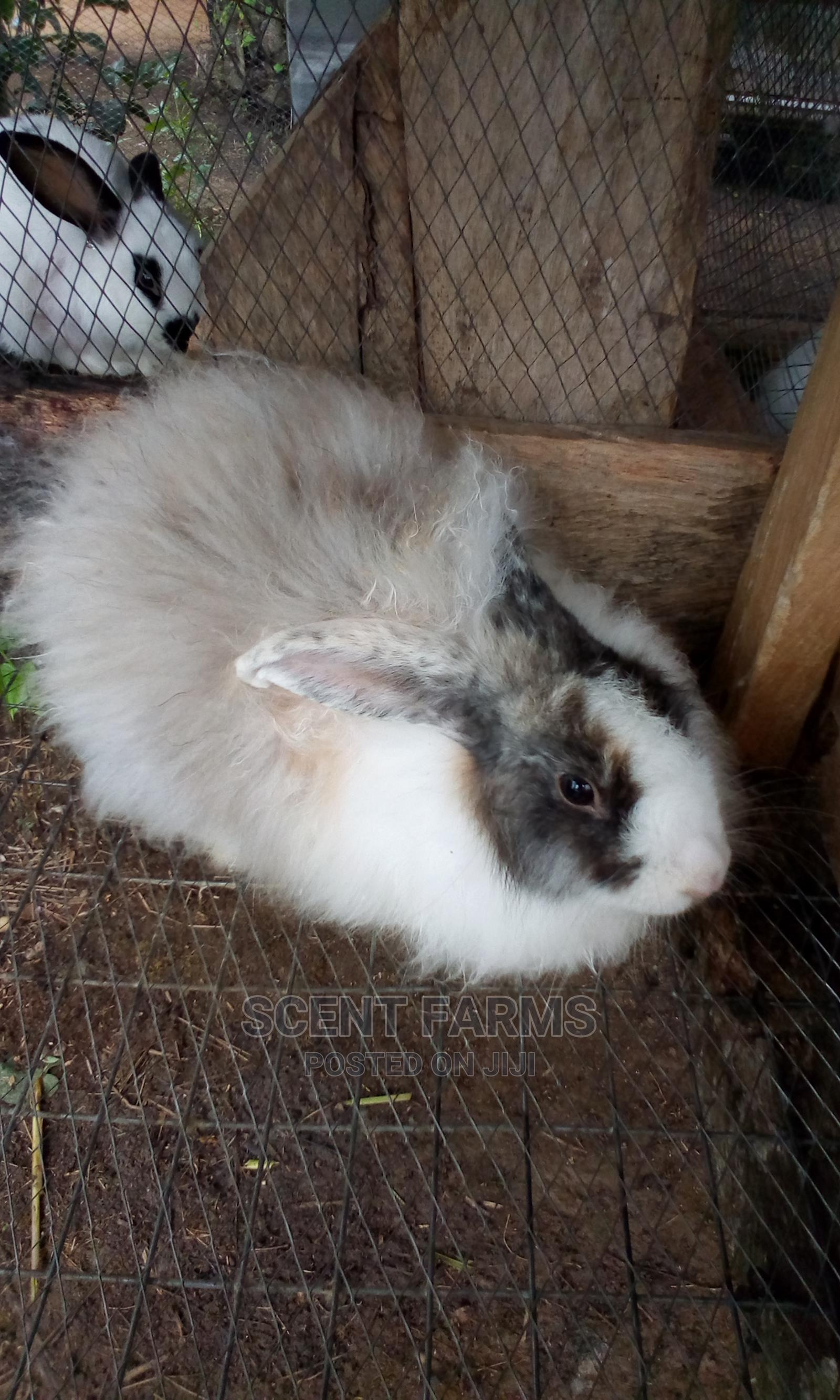 Archive: Rabbits for Sale