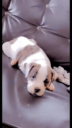 0-1 Month Female Purebred Bulldog | Dogs & Puppies for sale in Lagos State, Ikotun/Igando