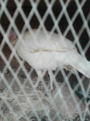 White Female Turkey   Livestock & Poultry for sale in Abuja (FCT) State, Bwari