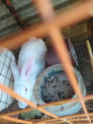 4 Months Old Buck. Pure Hyla   Livestock & Poultry for sale in Lagos State, Lekki