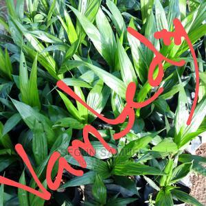 Hybrid Tenera Oilpalm Seedling | Feeds, Supplements & Seeds for sale in Oyo State, Ibadan