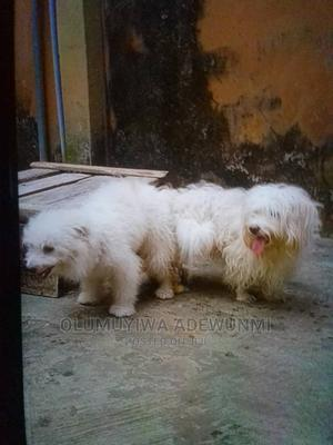 Lhasa Apso Stud Services | Pet Services for sale in Lagos State, Ikotun/Igando