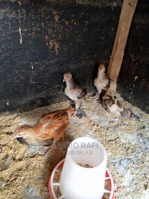 Bird Chosians | Birds for sale in Kaduna State, Kaduna / Kaduna State