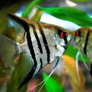 Promo for 5 Inches Big Aquarium Angel Fishes | Fish for sale in Lagos State, Surulere