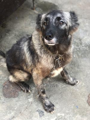 1+ Year Female Purebred Caucasian Shepherd | Dogs & Puppies for sale in Lagos State, Isolo