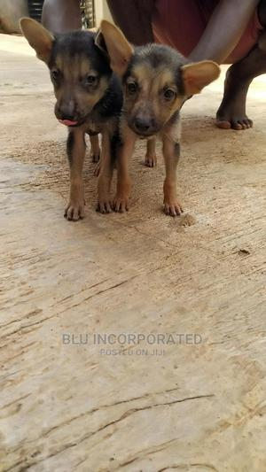 1-3 Month Male Purebred German Shepherd   Dogs & Puppies for sale in Lagos State, Ifako-Ijaiye