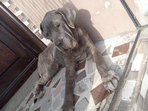 1+ Year Female Purebred Neapolitan Mastiff | Dogs & Puppies for sale in Lagos State, Ojo