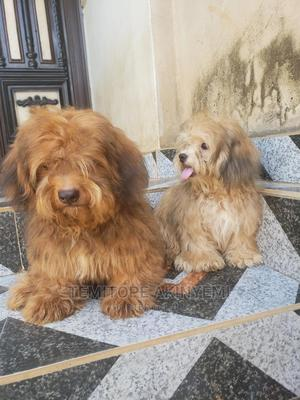 6-12 Month Female Purebred Lhasa Apso   Dogs & Puppies for sale in Lagos State, Alimosho