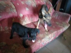 1-3 Month Female Purebred German Shepherd | Dogs & Puppies for sale in Kwara State, Ilorin West