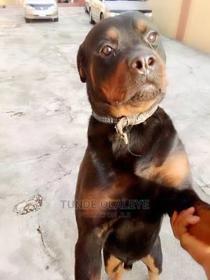 1+ Year Male Purebred Rottweiler   Dogs & Puppies for sale in Lagos State, Isolo