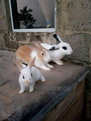3 Months Old Rabbits for Sale (Different Breeds) | Livestock & Poultry for sale in Lagos State, Ikorodu