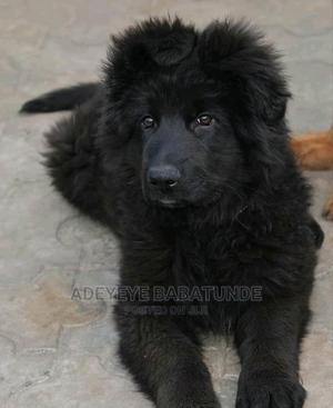 1-3 Month Male Purebred German Shepherd | Dogs & Puppies for sale in Lagos State, Ikeja