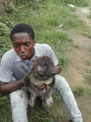 1-3 Month Male Mixed Breed Caucasian Shepherd   Dogs & Puppies for sale in Rivers State, Port-Harcourt