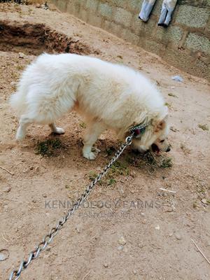 1+ year Male Purebred American Eskimo   Dogs & Puppies for sale in Oyo State, Ibadan