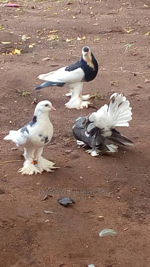Available Foreign Pigeons at Max-Fam | Birds for sale in Ogun State, Ilaro