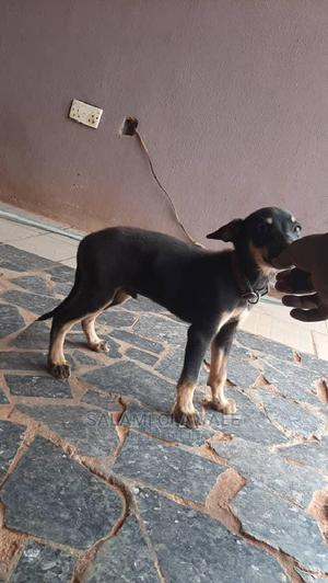 3-6 Month Male Purebred German Shepherd | Dogs & Puppies for sale in Lagos State, Ikorodu