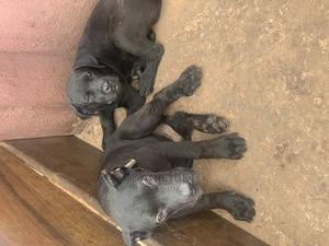 1-3 Month Male Purebred Cane Corso | Dogs & Puppies for sale in Edo State, Benin City