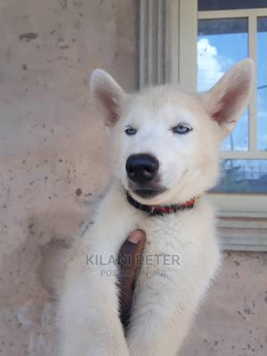 6-12 Month Male Purebred Siberian Husky | Dogs & Puppies for sale in Edo State, Egor