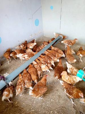 Point of Lay Chickens | Livestock & Poultry for sale in Lagos State, Ogba