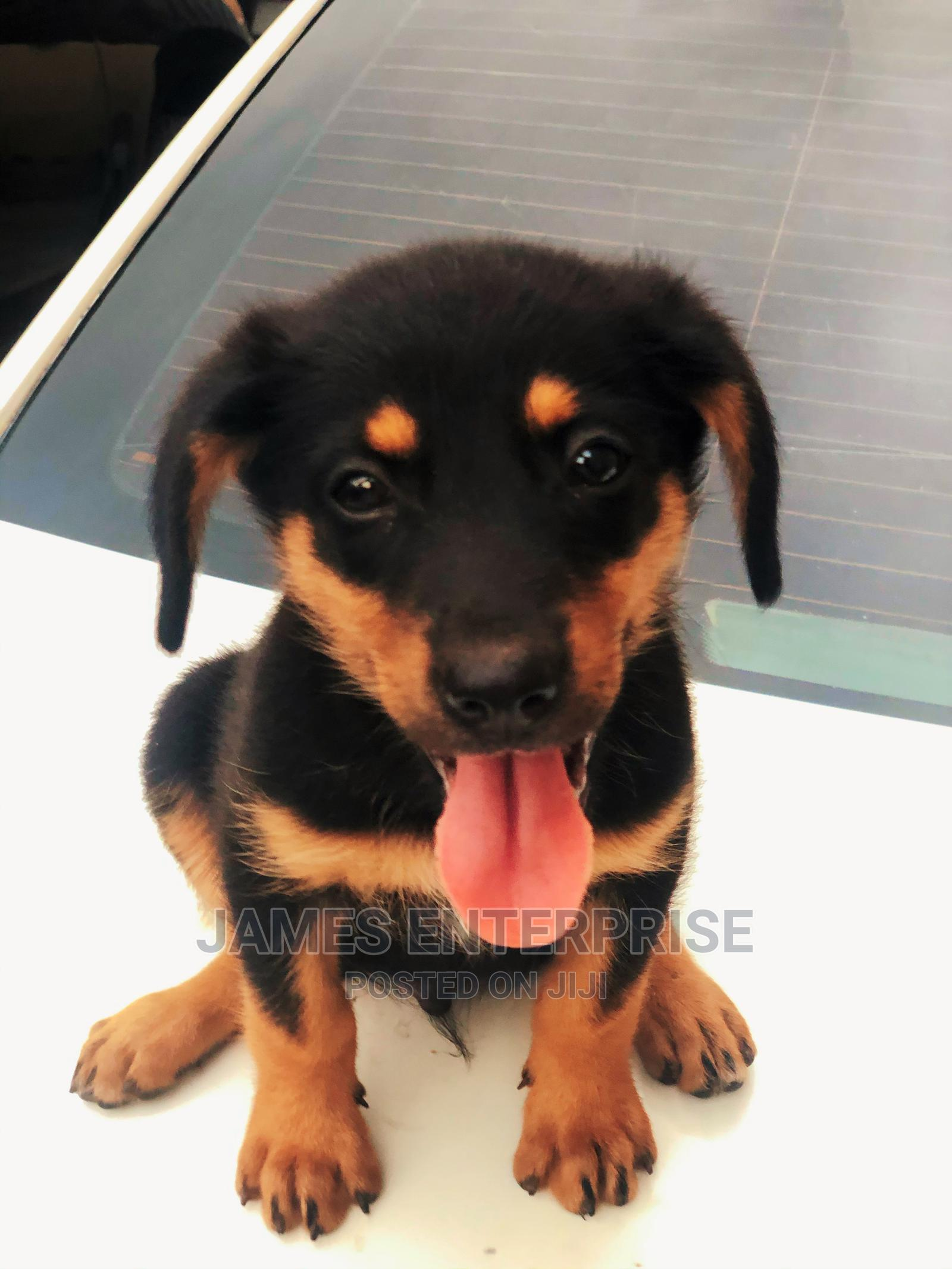 Archive: 1-3 Month Male Purebred Dachshund