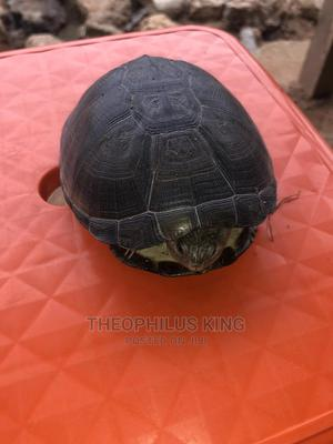 Turtle for Sale | Reptiles for sale in Lagos State, Isolo