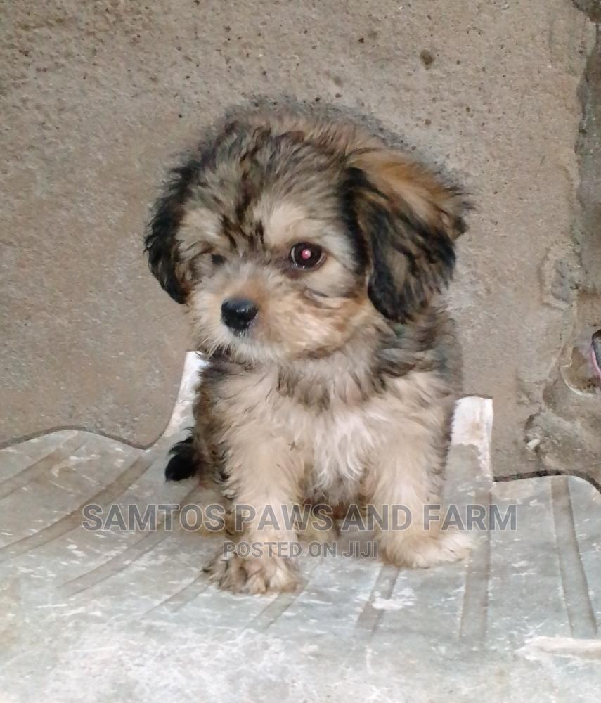 1-3 Month Male Purebred Lhasa Apso