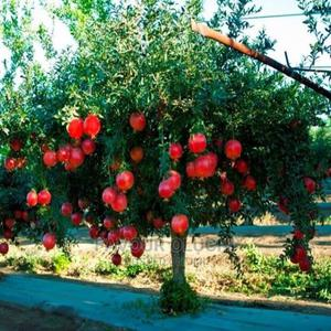 Hybrid Pomegranate Seedlings | Feeds, Supplements & Seeds for sale in Lagos State, Ikotun/Igando