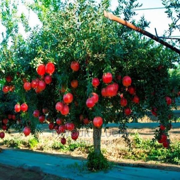Hybrid Pomegranate Seedlings