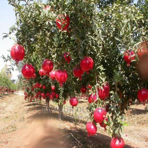 Hybrid Pomegranate Seedlings | Feeds, Supplements & Seeds for sale in Ikotun/Igando, Lagos State, Nigeria