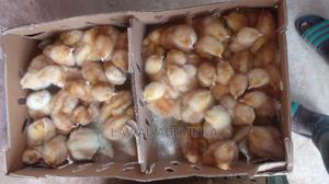 Dayold Chicks | Livestock & Poultry for sale in Oyo State, Ibadan