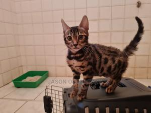 1-3 Month Male Purebred Bengal | Cats & Kittens for sale in Lagos State, Ikeja