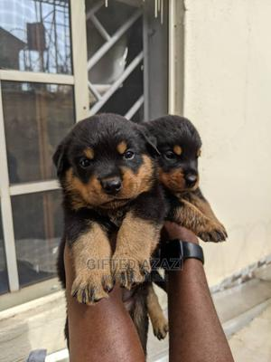 1-3 month Female Purebred Rottweiler | Dogs & Puppies for sale in Abuja (FCT) State, Gwarinpa