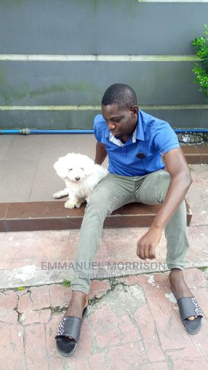 1+ Year Male Purebred Maltese   Dogs & Puppies for sale in Rivers State, Port-Harcourt