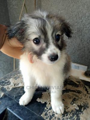 1-3 Month Male Purebred American Eskimo | Dogs & Puppies for sale in Abuja (FCT) State, Jahi