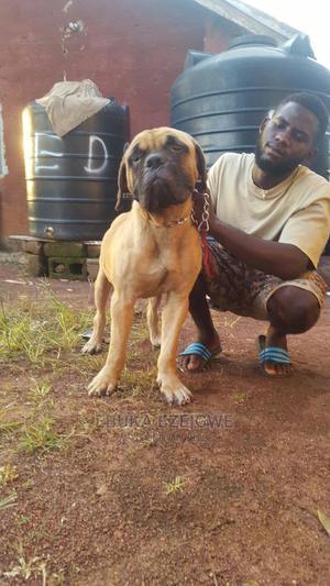 1+ Year Male Purebred Bullmastiff | Dogs & Puppies for sale in Enugu State, Enugu