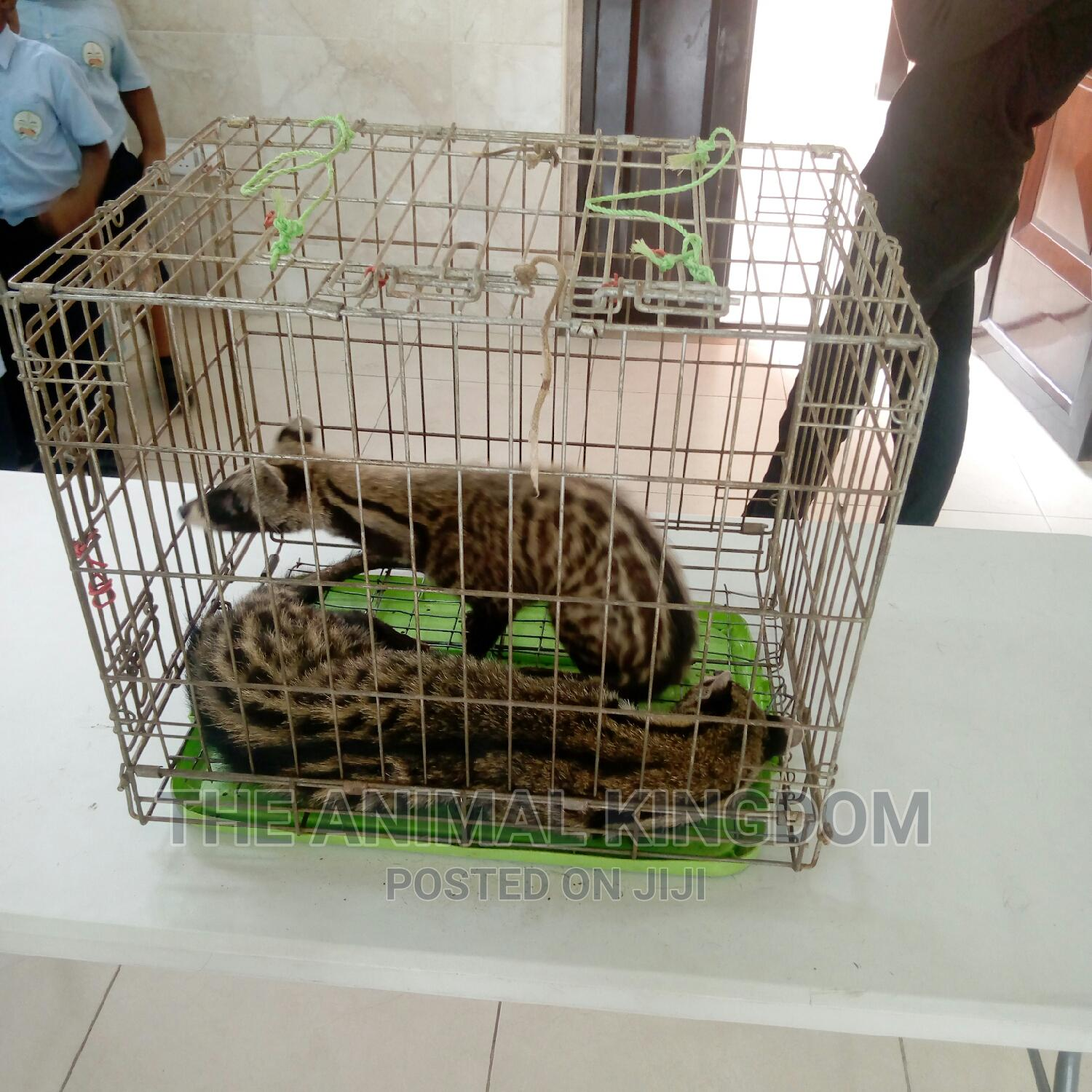 Archive: Male and Female Civet Cat for Sale