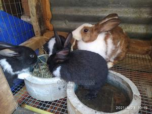 A Colony of Rabbits (8 Rabbits)   Livestock & Poultry for sale in Lagos State, Lekki
