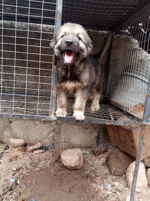 0-1 Month Male Purebred Caucasian Shepherd | Dogs & Puppies for sale in Delta State, Ika South
