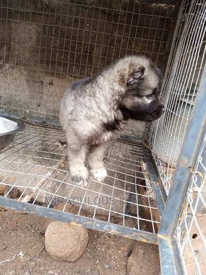 0-1 Month Female Purebred Caucasian Shepherd | Dogs & Puppies for sale in Delta State, Ika South