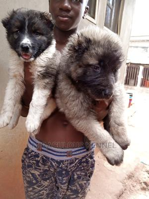 1-3 month Female Purebred Caucasian Shepherd | Dogs & Puppies for sale in Delta State, Ika South