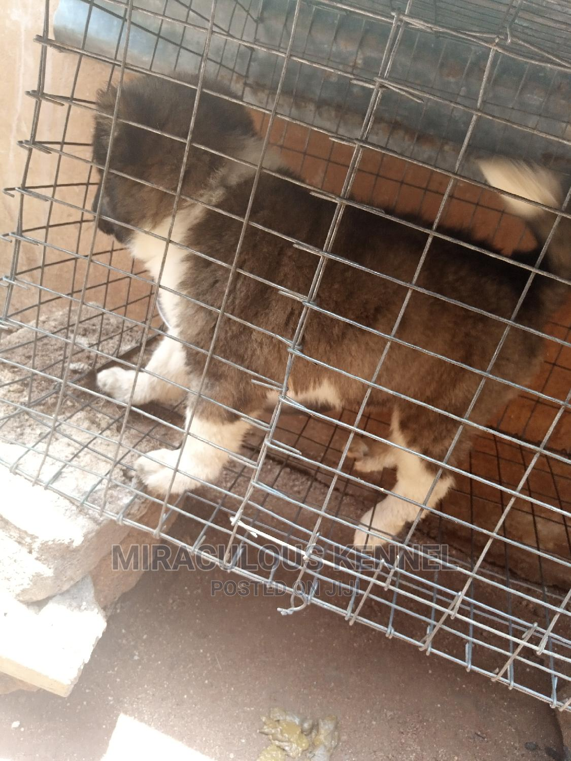 1-3 month Female Purebred Caucasian Shepherd | Dogs & Puppies for sale in Ika South, Delta State, Nigeria