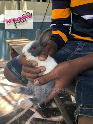 Dutch Rabbits   Livestock & Poultry for sale in Akwa Ibom State, Uyo