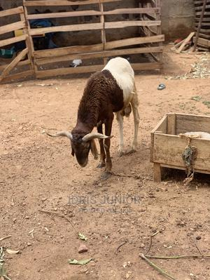 Ram for Sale   Livestock & Poultry for sale in Abuja (FCT) State, Gwagwalada