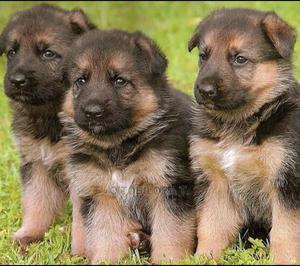 0-1 Month Male Purebred German Shepherd | Dogs & Puppies for sale in Lagos State, Ikeja