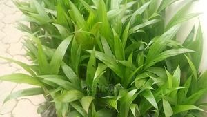 Flamboyant and Heavy Breed Nursed Palm Plant | Feeds, Supplements & Seeds for sale in Ondo State, Akure