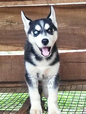 3-6 Month Female Purebred Siberian Husky | Dogs & Puppies for sale in Lagos State, Ikeja