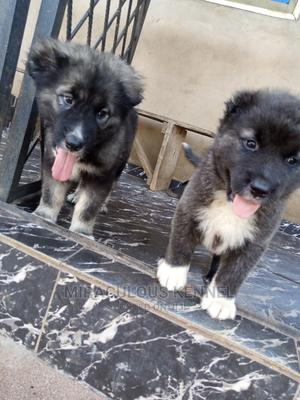 3-6 Month Female Purebred Caucasian Shepherd | Dogs & Puppies for sale in Delta State, Ika South